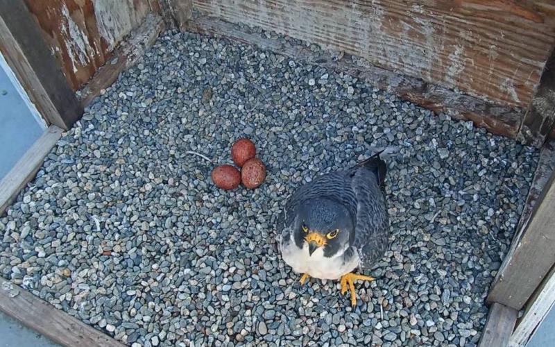 Peregrine falcon in nest box with three eggs