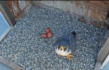 Peregrine falcon in nest box with three eggs